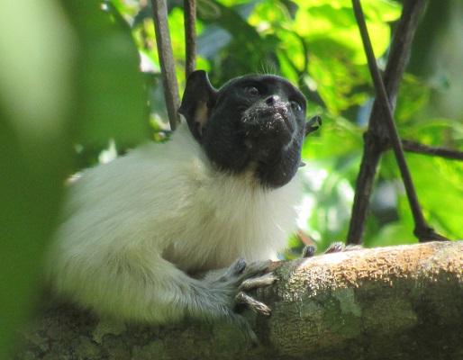 Pied tamarin (Saguinus bicolor) - photograph by Tainara Sobroza