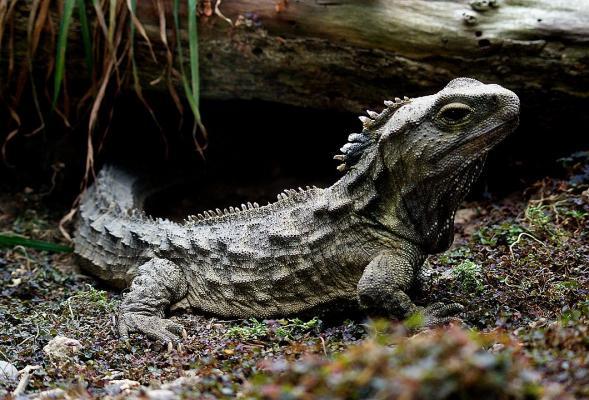 Tuatara, a rare reptile endemic to New Zealand.  Bernard Spragg_Flickr
