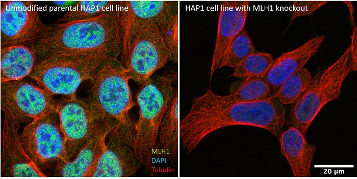 Horizon HAP1 cell line