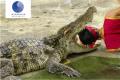 crocodile with mouth wide open, man's head inside it